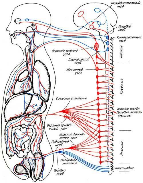 Где находится центр парасимпатической нервной системы