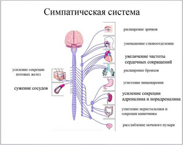 Система Нервная Симпатическая фото