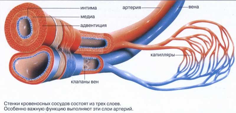 кровеносной системы