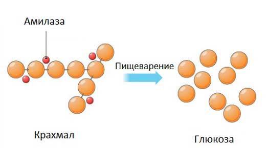 действие амилазы в организме