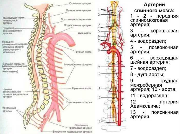 артерии спинного мозга
