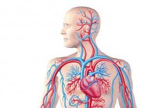 артерии человека