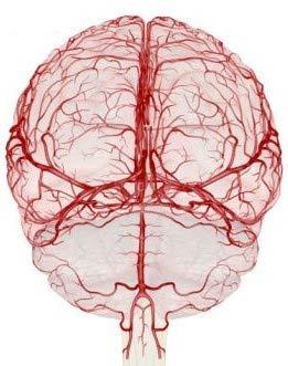 Циркуляция крови в мозгу