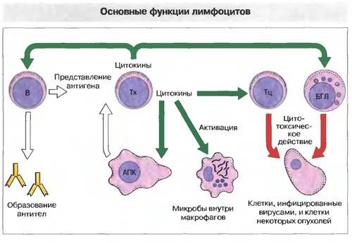 функции лимфоцитов