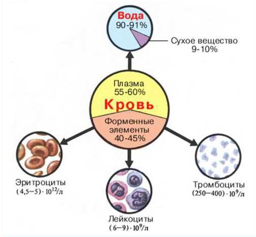 клетки крови человека