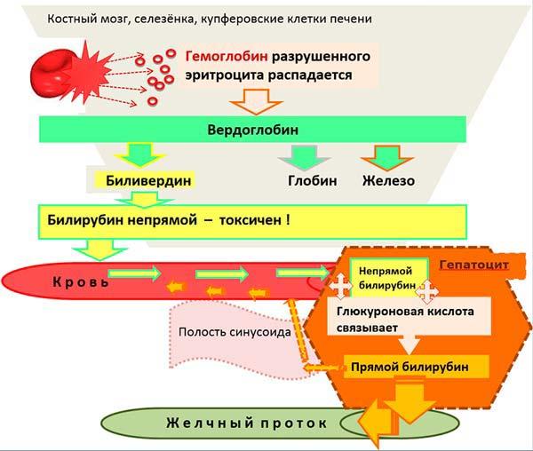 образование билирубина