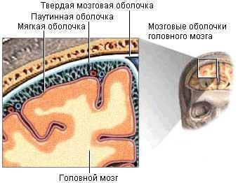 паутинная оболочка головного мозга