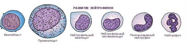 развитие нейтрофилов