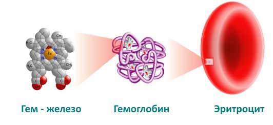 состав гемоглобина