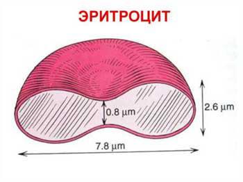 строение эритроцитов