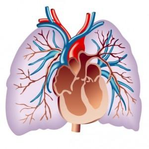 вены лёгких