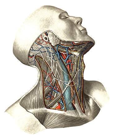 вены на шеи