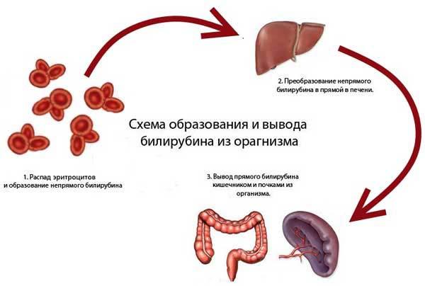 вывод билирубина