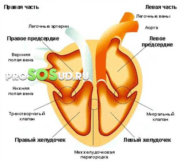 желудочки сердца